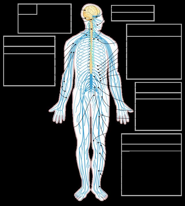 Hijerarhijska organizacija Nervrnog sistema
